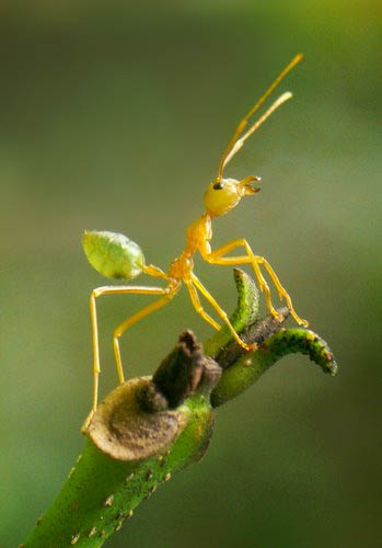 Defencive Green Ant