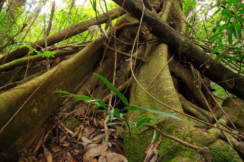 Strangler Fig - Murray Falls