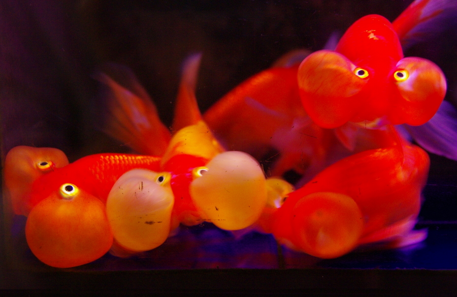 These weird, distorted goldfish are from the pet market?