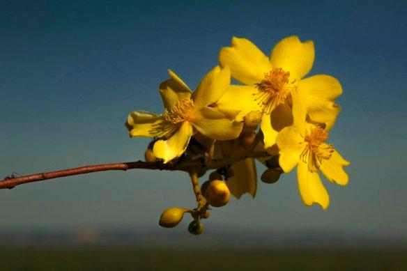 Kapok Flowers - © John Lovett 2015