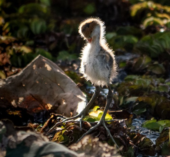 Jacana Chick  © John Lovett 2019