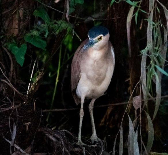 Nankeen Night Heron  © John Lovett 2019
