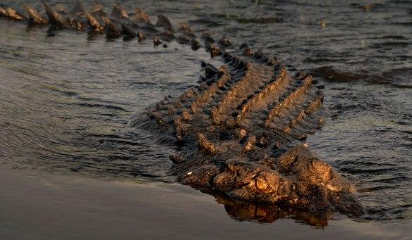 Crocodile swimming  © John Lovett 2019
