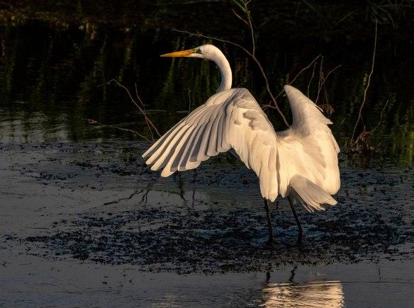 Egret  © John Lovett 2019